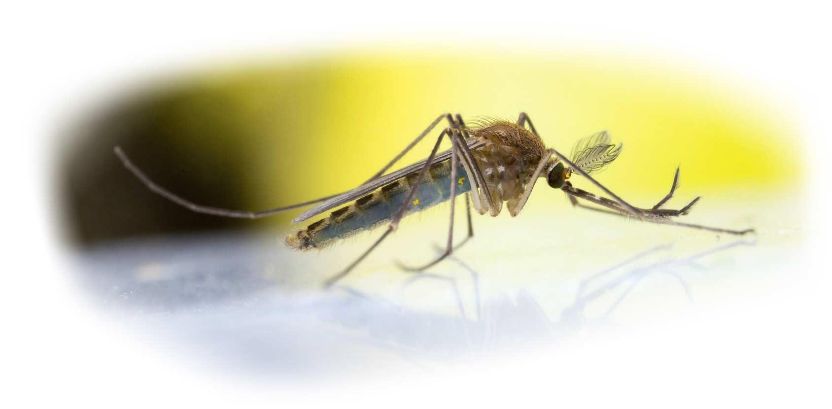 ZEDAN - Mückenschutz - Detail Mücke